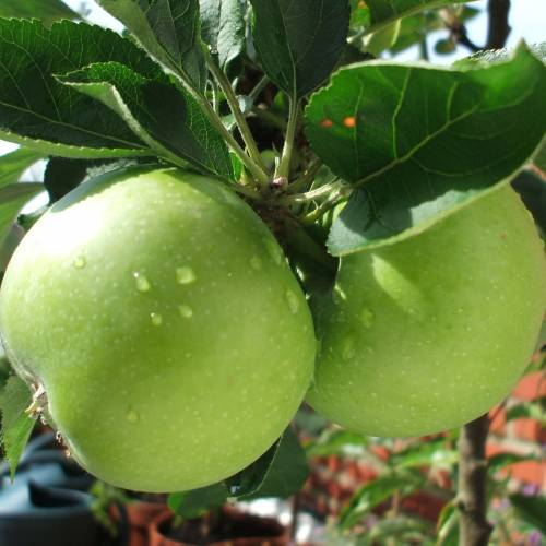 Manzano 'Granny Smith'