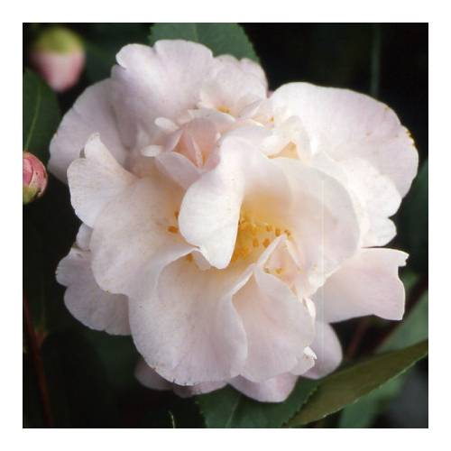Camelia campestre 'High Fragrance'