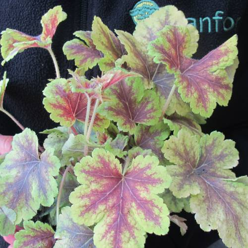 Heuchera 'Golden Zebra'