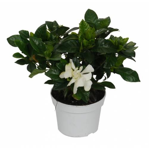 Gardenia jasminoides, Jazmín del Cabo - C12 : venta Gardenia jasminoides, Jazmín del Cabo - C12 / Gardenia jasminoides - C12