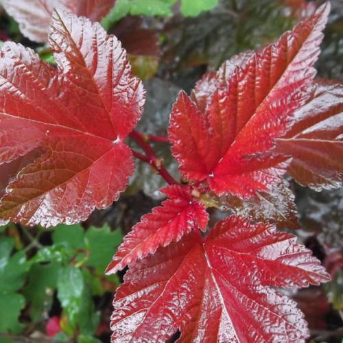 Physocarpus opulifolius 'Lady in Red'