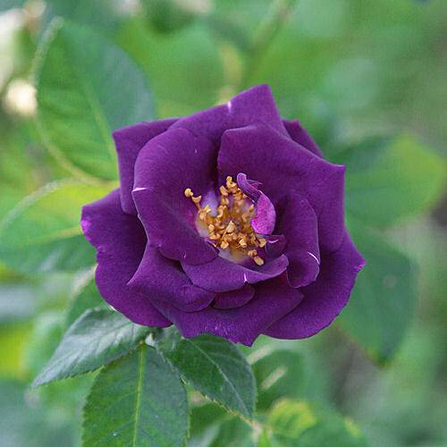 Rosal 'Rhapsody in Blue'