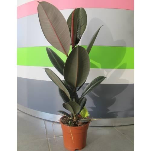 árbol Del Caucho C17 Venta árbol Del Caucho C17 Ficus Elastica Abidjan C17