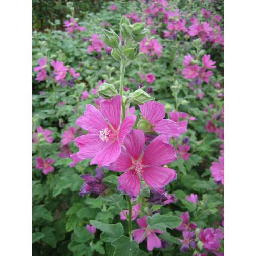 Lavatera 'Burgundy Wine'