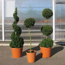 Buxus decoration