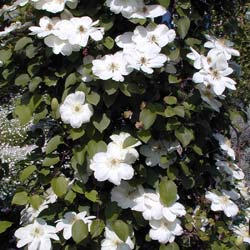 Clematis Mme Lecoultre