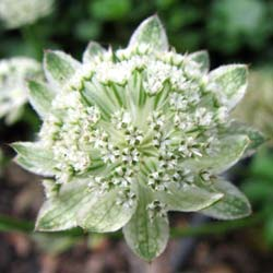 astrantia major alba