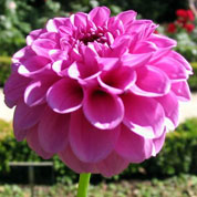 dahlia ball boy scout