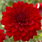 dahlia decoratif -abba