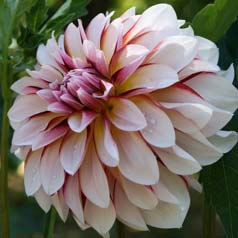 dahlia decoratif -carribean fantasy
