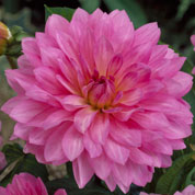 dahlia decoratif -christine