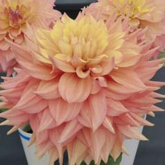 dahlia decoratif -peaches and cream