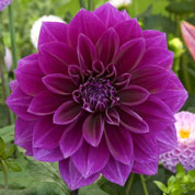 dahlia decoratif -thomas edison