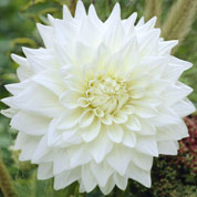dahlia decoratif -white perfection