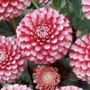 dahlia pompon -little william