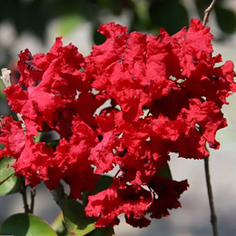 lagerstroemia indica rouge