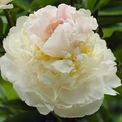 paeonia lactiflora -blush queen