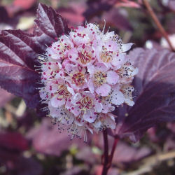 physocarpus opulifolius -lady in red