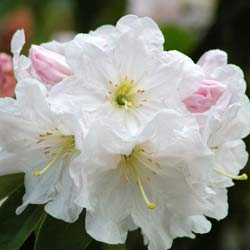 rhododendron fortunei ssp discolor